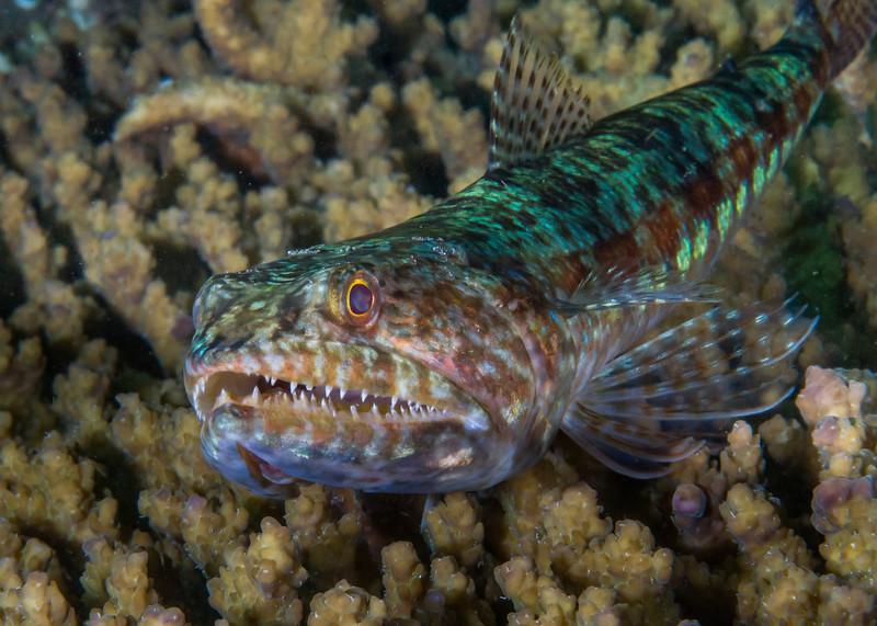 Reef Lizardfish Showing Some Teeth