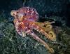 Poison Ocellate Octopus or Mototi Octopus