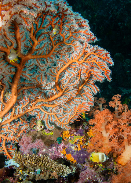 Orange Seafan and soft coral