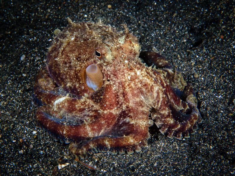 Veined Octopus