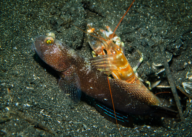 Alpheid shrimp shares burrow in symbiotic relationship with black Shrimpgoby