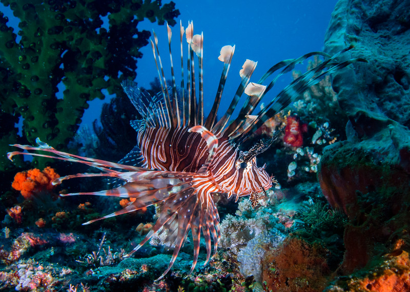Common (red) Lionfish