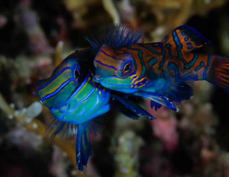 Mandarinfish (mandarin dragonet) Mating