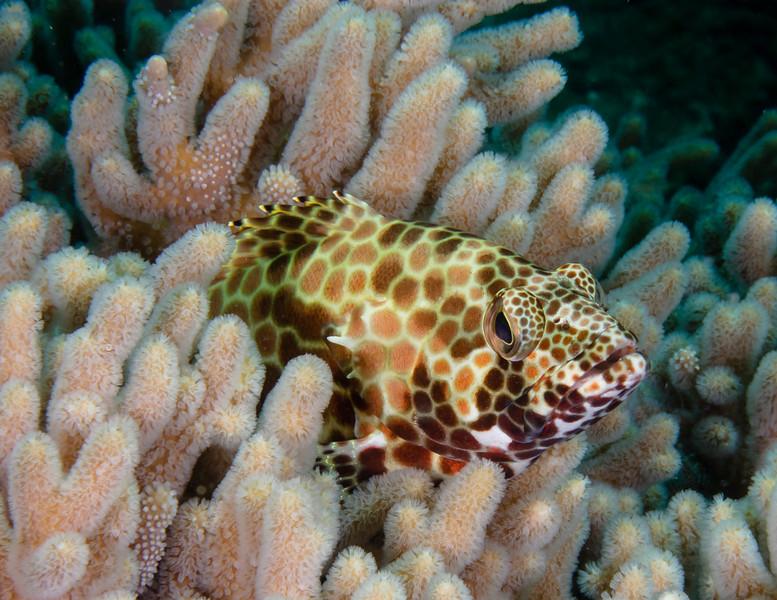 Honeycomb Grouper