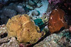 Giant (Commerson's) Frogfish Pair