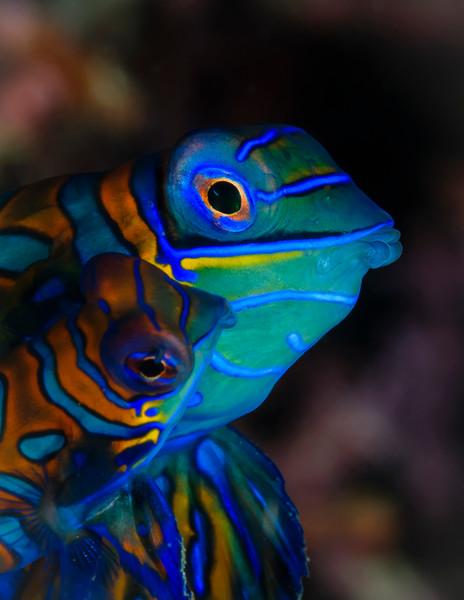Mandarinfish (mandarin dragonet) Couple