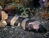 Juvenile Brown-banded Bamboo Shark