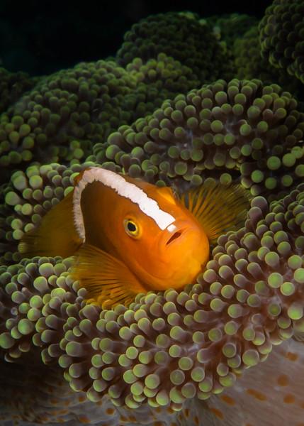Orange Skunk Anemonefish