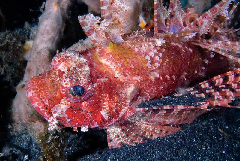 Decoy Scorpionfish in black sand