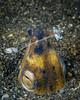 Black-finned Snake Eel with Cleaner Shrimp