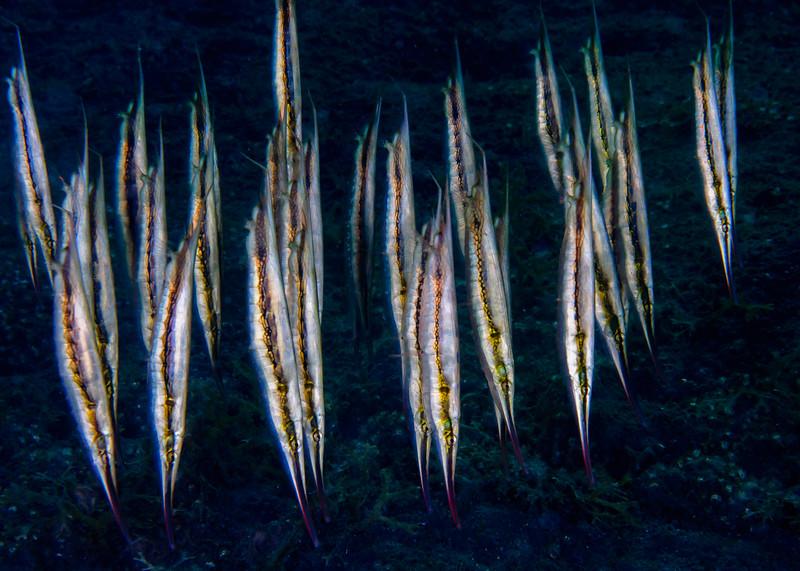 School of Razorfish
