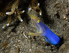 Male Ribbon Eel