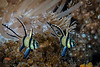 Banggai (Kaudern's) Cardinalfish