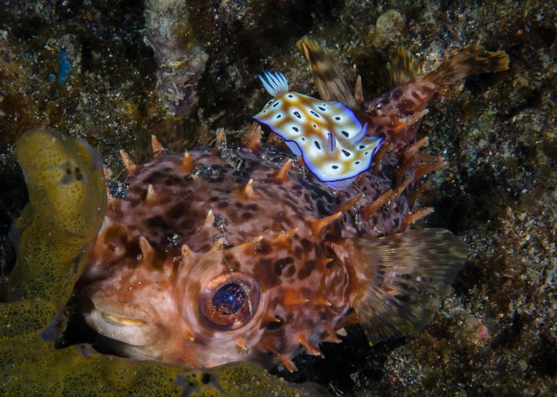 Chromodoris Nudibranch Crawls Over Hiding Orbicular Burrfish - Also known as Birdbeak burrfish