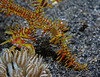 Harlequin (Ornate) Ghost Pipefish