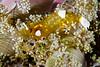Five-spot anemone shrimp