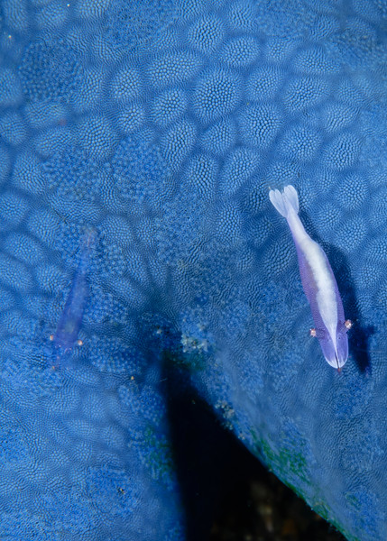 Two Sea Star (Partner) Shrimps