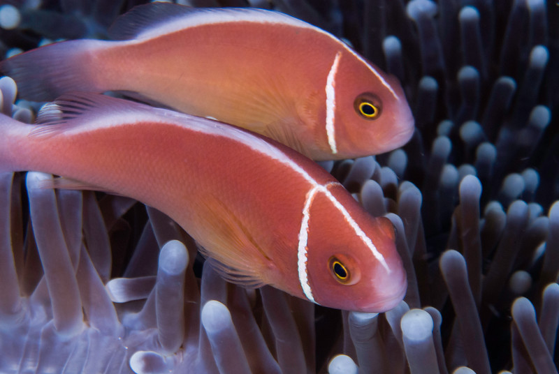 Pink Anemonefish Pair