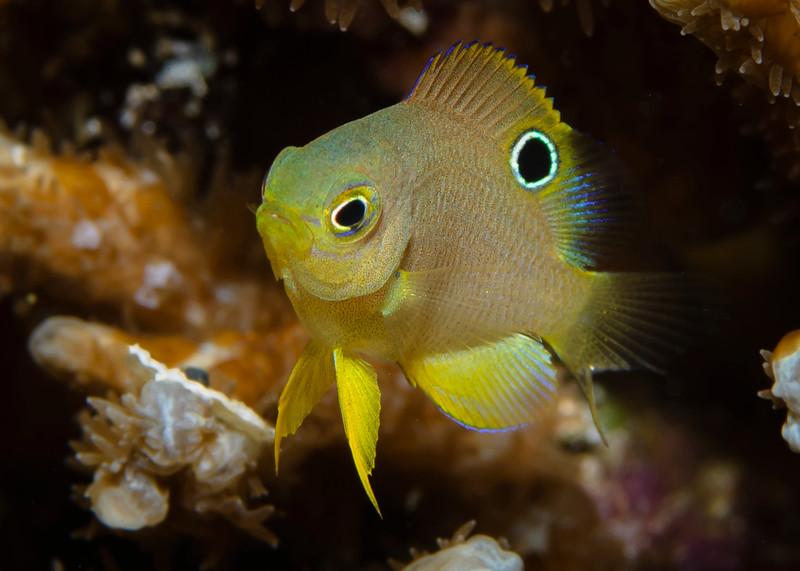 Juvenile Yellow or Golden Damselfish