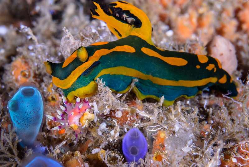 "Tambja gabrielae Pola ""Sea Tiger"" Nudibranch appears to attack a Flaballina Exoptata or ""Much Desired"" Nudibranch."