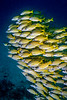 School of Bluestripe snapper