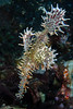 Ornate (harlequin) Ghost Pipefish