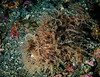Striped Frogfish - Hairy Variation