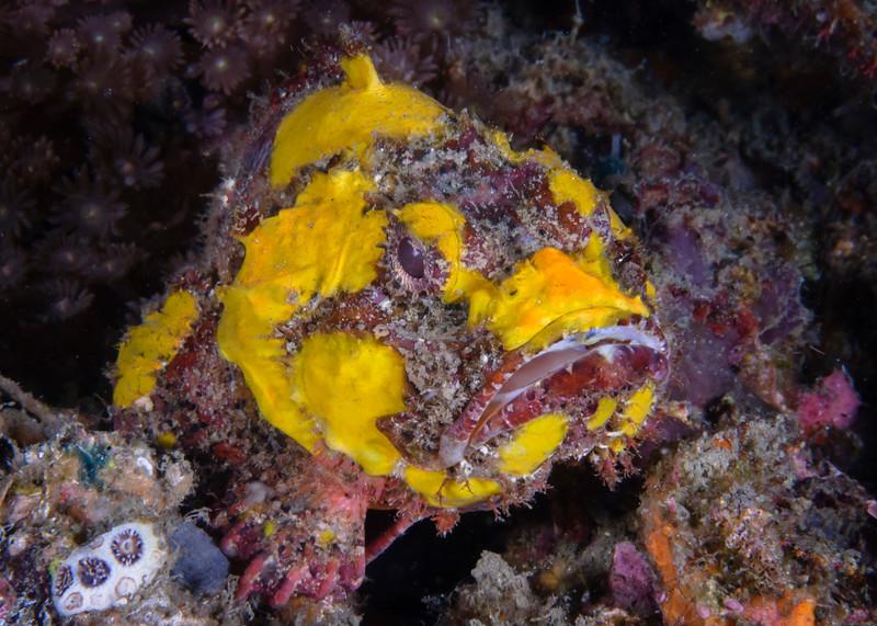 Flasher (Humpback) Scorpionfish