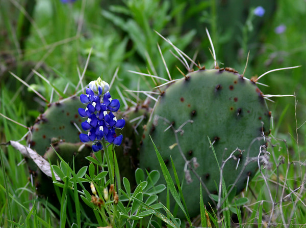 What could be more Texas than this:  Bluebonnets and Prickly Pears.