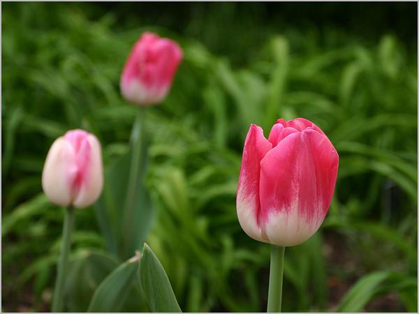 Tulip 42