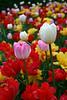 Vertical Pink Tulip