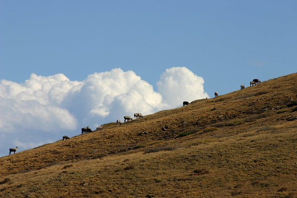 Sheep on Trinchera