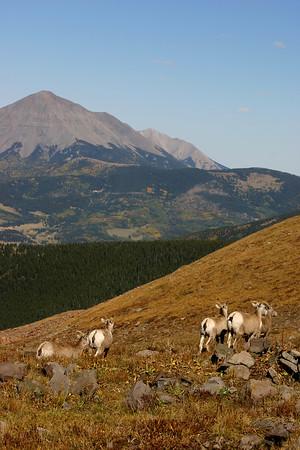 West Peak Sheep