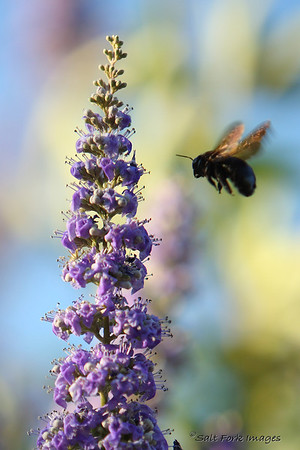 Bumblebees in Utah - These were shot from Chuck's back porch.