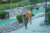 Estes Park, Colorado, where the elk enjoy a good round of mini-golf.