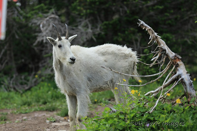Mountain Goat - Glacier National Park, Montana