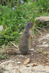 Columbia Ground Squirrel - - Glacier National Park, Montana