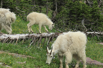 Mountain Goats - Glacier National Park, Montana