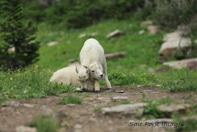 Mountain Goat kids - Glacier National Park, Montana