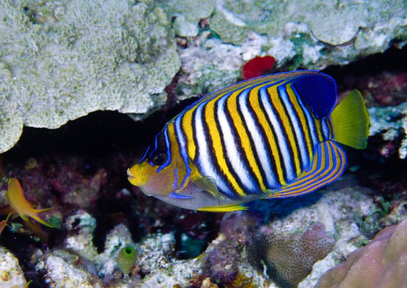 Regal angelfish