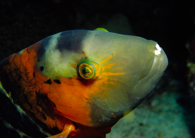 Redbreasted wrasse
