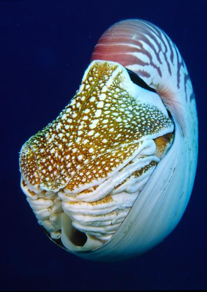 Emperor nautilus