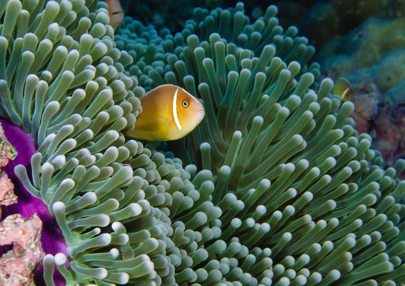 Pink anemonefish and green carpet anemone