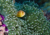 Pink anemonefish and green carpet anemone