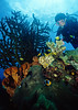 Diver looks over a healthy reef with orange-finned anemonefish in residence