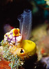 Tunicate and sponge