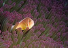 Pink anemonefish in purple tipped anemone