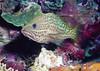 Slender grouper