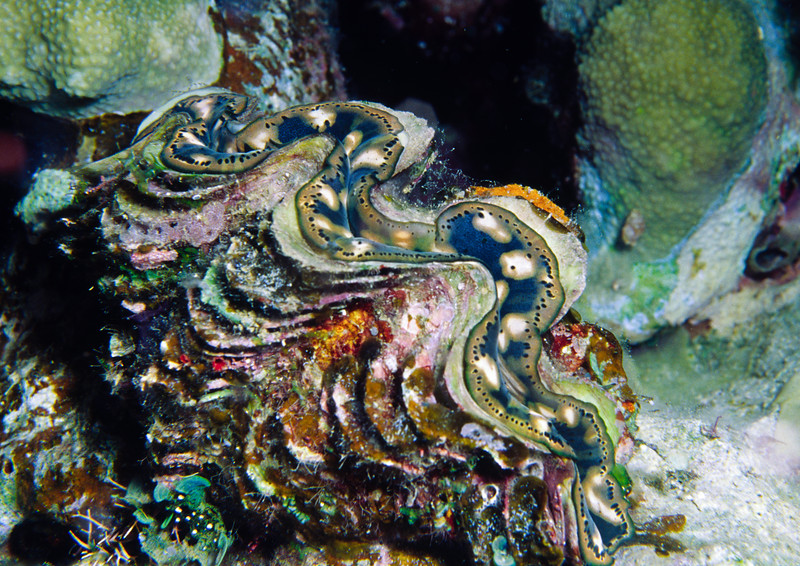 Young giant clam