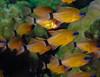 Ringtailed cardinalfish school